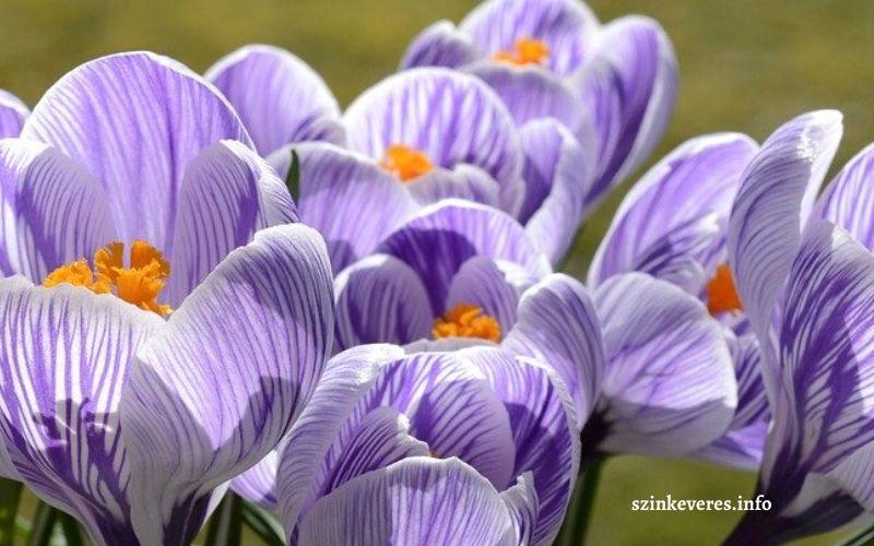 Sáfrány virág